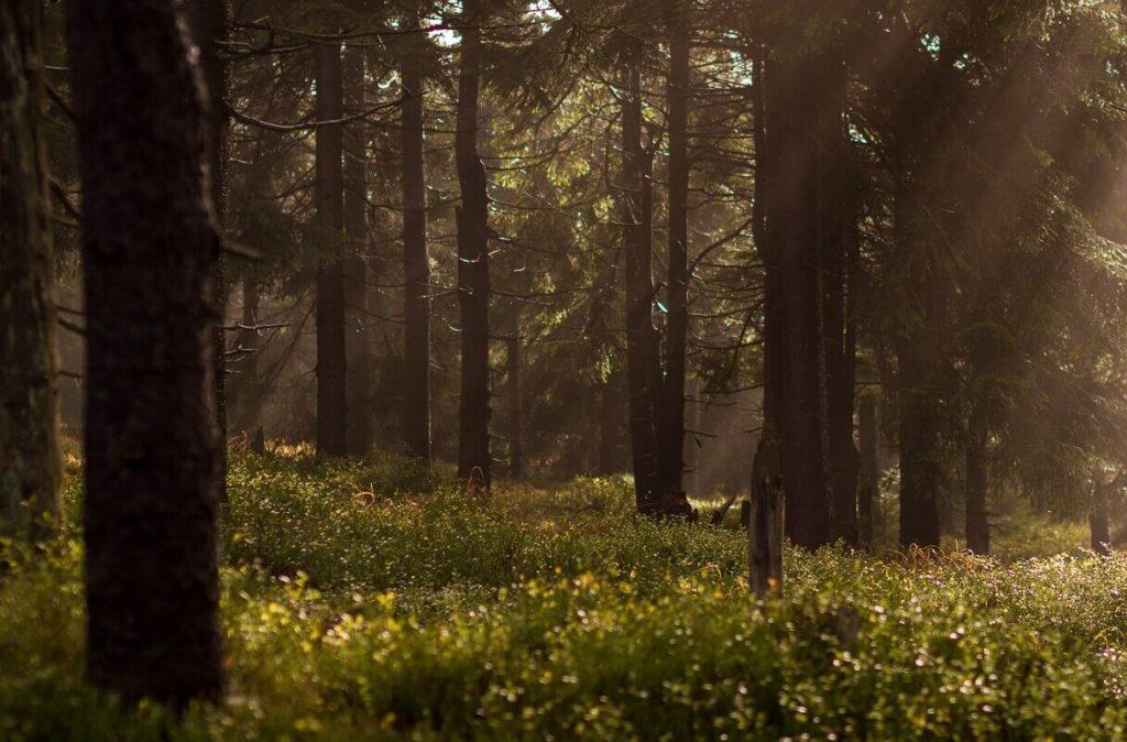 Kuvassa hämärä metsä.
