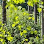 Vihreitä puita metsässä